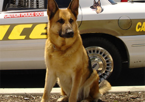 Man Arrested After Barking At Police Dog!?